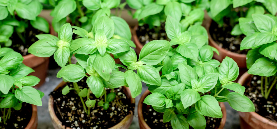 grecotel-moments-grow-basil-at-home